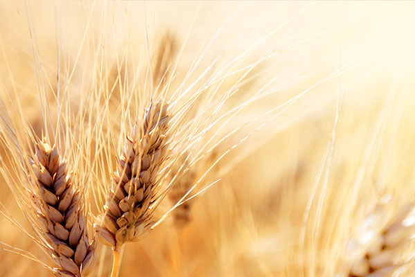 buğdayın genetiği